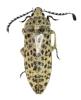 Eulichadidae