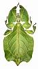 Phyllidae