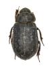 Trogidae