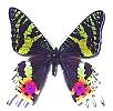 Uranidae