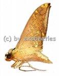 Ambulyx canescens  A2