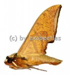 Ambulyx pryeri  A2