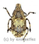 Anthribidae spec. #7  ( 10 - 14 )  A1-