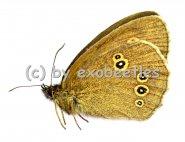 Aphantopus hyperantus  A2