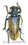 Apriona swainsoni  ( 40 - 44 )