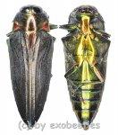 Belionota prasina  ( 20 – 24 )