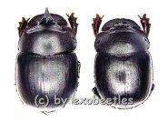 Catharsius molossus  ( M 25 - 29 )