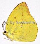 Catopsilia pomona  A2