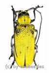 Celosterna pollinosa sulphurea  ( 40 – 44 )