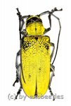 Celosterna pollinosa sulphurea  ( 35 – 39 )
