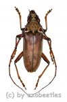 Cerambycidae spec. #78  ( 35 - 39 )