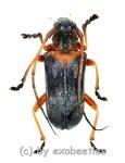 Cerambycidae spec. #80  ( 15 - 19 )