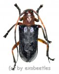 Cerambycidae spec. #81  ( 15 - 19 )  A2