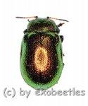 Chrysomelidae spec. #8  ( 5 – 9 )