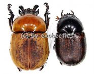 Dicaulocephalus fruhstorferi  ( M 20 - 29 )