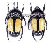 Dicheros bicornis rowelli  ( 15 - 19 )