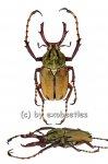 Dicranocephalus wallichii bowringi  ( 25 - 29 )