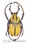 Dicranocephalus wallichii  ( 25 - 39 )  A2