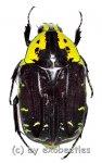 Euchroea coelestis peyrierasi  ( 25 – 29 )