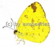 Eurema blanda silhetana