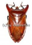 Eurypleura bicornis  A1-