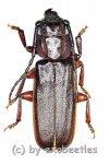 Eurypoda antennata antennata  ( 25 – 29 )