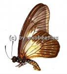 Graphium agamedes