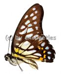 Graphium chironides  A1/A-
