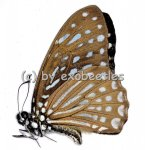 Graphium ( Paranticopsis ) megarus megapenthes