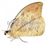 Hebomoia glaucippe glaucippe  A1/A-