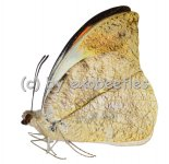 Hebomoia glaucippe philippensis