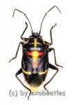 Hemiptera spec. #17  ( 10 – 14 )  A2