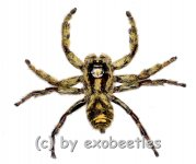 Hyllus giganteus ( Jumping Spider )
