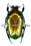 Ischiopsopha ritsemae celebensis  ( 25 - 29 )