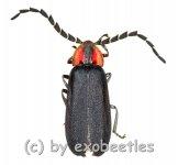 Lampyridae spec. #3  ( 10 - 14 )