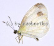 Leptosia nina