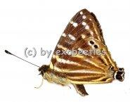 Lycaenidae spec. #1