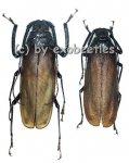 Macrotoma fisheri  ( M 60 - 64 )  A1-