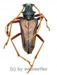 Mastododera spec.  ( 20 - 24 )