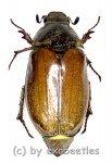 Melolontha chinensis  ( 20 - 29 )
