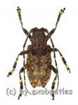 Moechotypa diphysis  ( 15 - 19 )