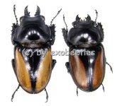 Neolucanus parryi