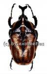 Neophaedimus auzouxi  ( 25 - 29 )