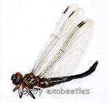 Odonata spec. #12