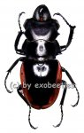 Odontolabis cuvera ssp.fallaciosus ( amphiodonte )  ( 55 - 59 )