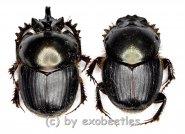 Onthophagus spec. #1  ( M 15 – 19 )