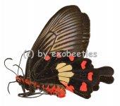Pachliopta aristolochiae goniopeltis  A1- Fb