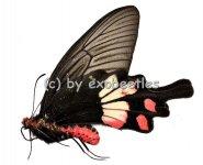 Pachliopta aristolochiae goniopeltis ( abberation )