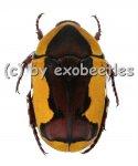 Pachnoda ephippiata ssp.falkei ( Zucht )  ( 20 - 25 )