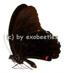 Papilio ambrax